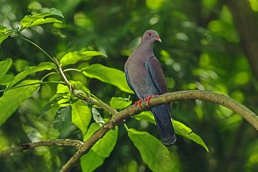 Peruvian Pigeon (Columba oenops), native to Peru