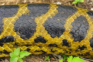 Yellow Anaconda (Eunectes notaeus) scales, Pantanal, Mato Grosso, Brazil