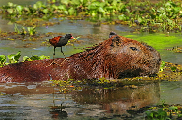 Capybara (Hydrochoerus hydrochaeris) with Wattled Jacana (Jacana jacana) on its back, Pantanal, Mato Grosso, Brazil