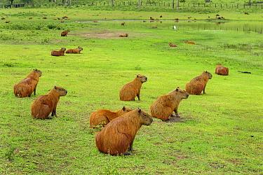 Capybara (Hydrochoerus hydrochaeris) group on pond shore, Pantanal, Mato Grosso, Brazil