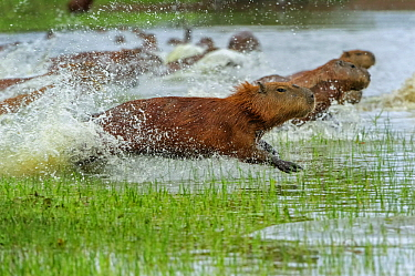 Capybara (Hydrochoerus hydrochaeris) group running through water, Pantanal, Mato Grosso, Brazil