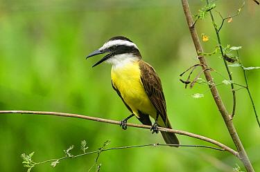 Great Kiskadee (Pitangus sulphuratus) calling, Pantanal, Mato Grosso, Brazil