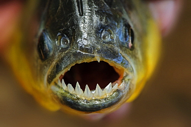 Red-bellied Piranha (Pygocentrus nattereri), Pantanal, Mato Grosso, Brazil
