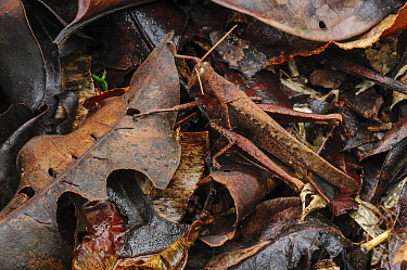 Grasshopper (Acrididae) camouflaged in leaf litter, Superagui National Park, Atlantic Forest, Brazil