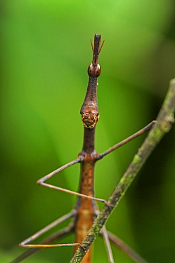 Grasshopper (Proscopia sp), Superagui National Park, Atlantic Forest, Brazil