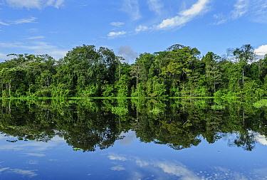 Rainforest along river, Tefe River, Mamiraua Reserve, Amazon, Brazil