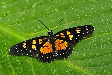 Narva Checkerspot (Chlosyne narva) butterfly, Rio Claro Nature Reserve, Antioquia, Colombia