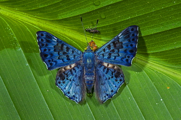 Cat's-eye Sapphire (Lasaia arsis) butterfly, Rio Claro Nature Reserve, Antioquia, Colombia