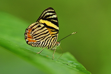 Tiger Beauty (Tigridia acesta) butterfly, Rio Claro Nature Reserve, Antioquia, Colombia