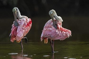 Roseate Spoonbill (Platalea ajaja) pair preening, Los Llanos, Colombia