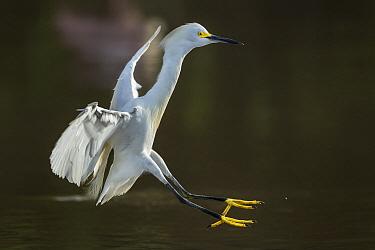 Snowy Egret (Egretta thula) landing, Los Llanos, Colombia