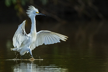 Snowy Egret (Egretta thula) in aggressive display, Los Llanos, Colombia