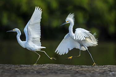 Snowy Egret (Egretta thula) pair in territorial dispute, Los Llanos, Colombia