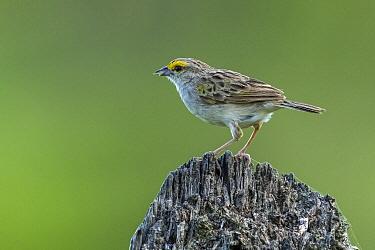 Yellow-browed Sparrow (Ammodramus aurifrons), Los Llanos, Colombia