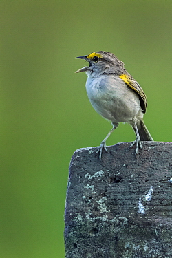 Yellow-browed Sparrow (Ammodramus aurifrons) calling, Los Llanos, Colombia