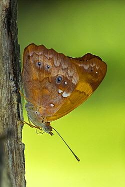 Orange Banner (Temenis laothoe) butterfly, Los Llanos, Colombia