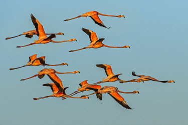 Greater Flamingo (Phoenicopterus ruber) flock flying, Los Flamencos Sanctuary, Guajira Peninsula, Colombia