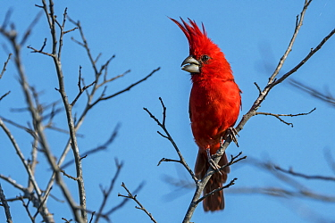 Vermilion Cardinal (Cardinalis phoeniceus) male, Guajira Peninsula, Colombia