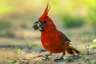 Vermilion Cardinal (Cardinalis phoeniceus) male feeding on seed, Guajira Peninsula, Colombia