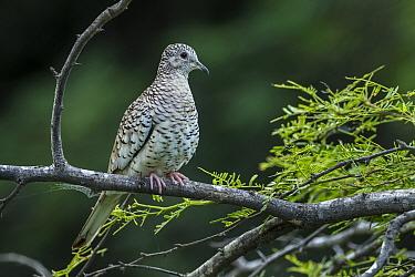 Scaled Dove (Columbina squammata), Guajira Peninsula, Colombia