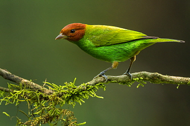 Bay-headed Tanager (Tangara gyrola), Sierra Nevada de Santa Marta, Colombia