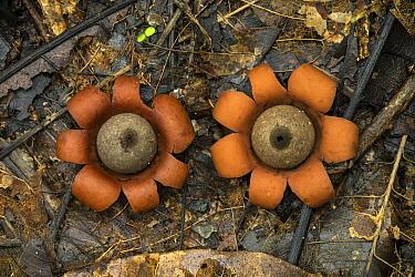 Earthstar (Geastrum sp) mushrooms, Tayrona National Natural Park, Colombia