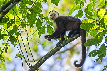 White-fronted Capuchin (Cebus albifrons), Magdalena Valley, Colombia