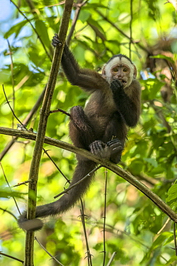 White-fronted Capuchin (Cebus albifrons) feeding, Magdalena Valley, Colombia