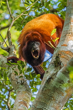 Red Howler Monkey (Alouatta seniculus) calling, Magdalena Valley, Colombia
