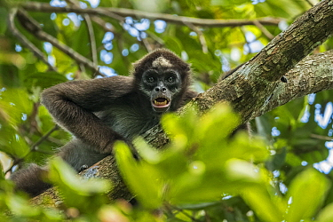 Variegated Spider Monkey (Ateles hybridus) in defensive display, Magdalena Valley, Colombia