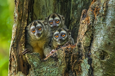 Gray-handed Night Monkey (Aotus griseimembra) trio in tree cavity, Magdalena Valley, Colombia