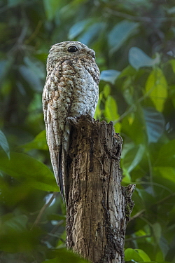 Great Potoo (Nyctibius grandis), Magdalena Valley, Colombia