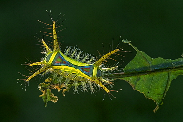 Cup Moth (Limacodidae) caterpillar, Magdalena Valley, Colombia