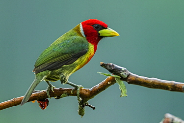Red-headed Barbet (Eubucco bourcierii) male, Guacharo Cave National Park, Colombia