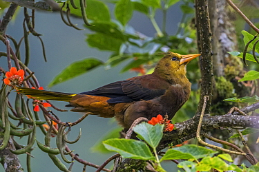 Russet-backed Oropendola (Psarocolius angustifrons), Guacharo Cave National Park, Colombia