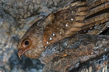 Oilbird (Steatornis caripensis) on nest in cave, Guacharo Cave National Park, Colombia