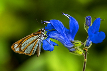 Cloud-forest Fantastic-Skipper (Vettius coryna) butterfly feeding on flower nectar, Guacharo Cave National Park, Colombia