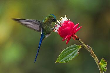 Violet-tailed Sylph (Aglaiocercus coelestis) hummingbird male feeding on flower nectar, Las Tangaras Bird Reserve, Colombia