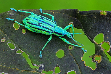 True Weevil (Curculionidae), Las Tangaras Bird Reserve, Colombia