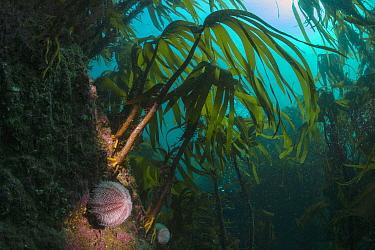 European Edible Sea Urchin (Echinus esculentus) in kelp forest, Shetland Islands, Scotland