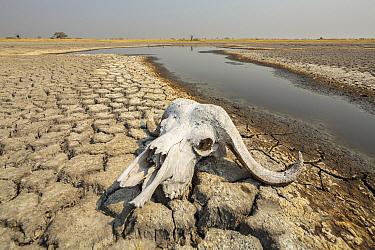 Cape Buffalo (Syncerus caffer) skull at drying waterhole, Moremi Game Reserve, Botswana