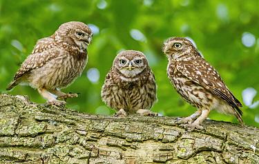 Little Owl (Athene noctua) trio, Achterhoek, Netherlands