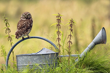Little Owl (Athene noctua) on watering can, Zuid-Holland, Netherlands