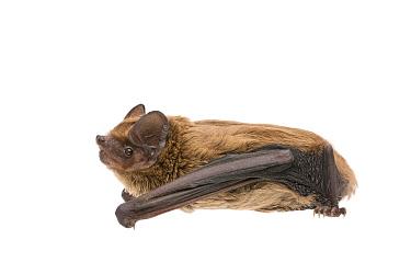 Leisler's Bat (Nyctalus leisleri), Eindhoven, Netherlands