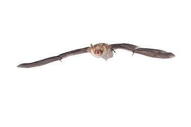 Natterer's Bat (Myotis nattereri) flying, Belgium