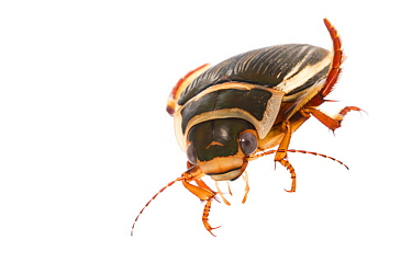 Diving Beetle (Dytiscus latissimus) female, Latvia