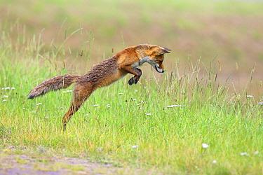 Red Fox (Vulpes vulpes) hunting, Lelystad, Netherlands