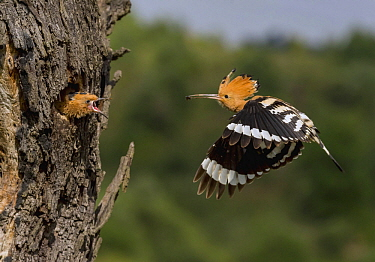 Eurasian Hoopoe (Upupa epops) parent bringing food to begging chick in nest cavity, Catalonia, Spain