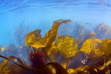 Cuvie (Laminaria hyperborea) kelp, St Brides, Pembrokeshire, Wales