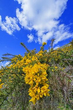 Gorse (Ulex europaeus) flowering, Stackpole Quay, Pembrokeshire, Wales